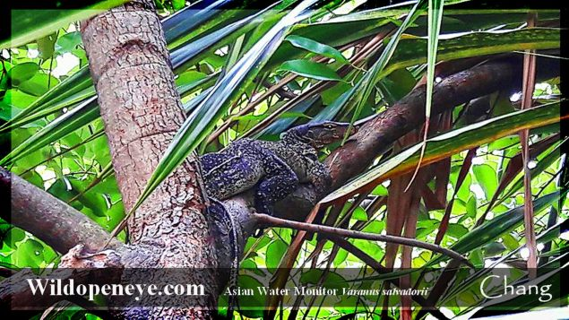Vigilant and delightfully ocellated in decoration, an Asian Water Monitor Lizard watches the World go by from the branches of a tree in Thai Village, Bangkok. Image and copyright Chang 2016