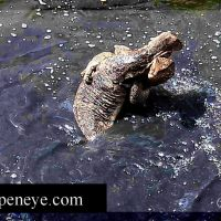 Chang's View: Meet Varanus salvadorii, the Asian Water Monitor. SUPER LIZARD!