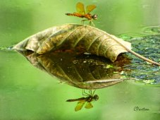 Dragonfly floating on a leaf in Cheniere Lake. C.Paxton image and copyright.