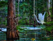 Great White Egret taking wing at Tensas River NWR, Louisiana. C. Paxton image and copyright.