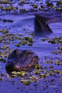 Bull Alligator displaying,