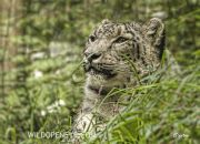 The Snow Leopard or Ounce, Panthera uncia