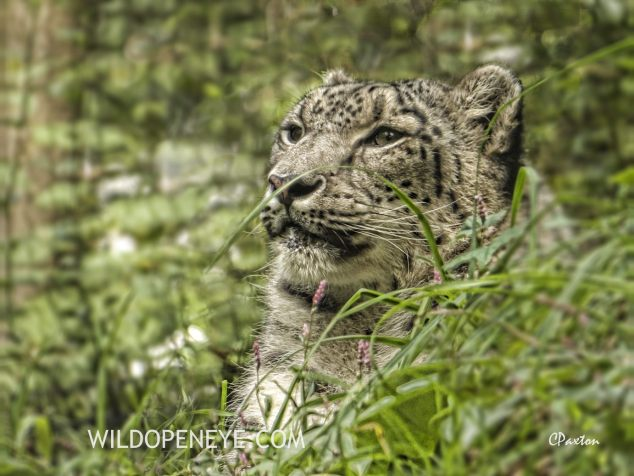 The Snow Leopard or Ounce, Panthera uncia at the Bronx Zoo, New York