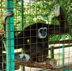 Gibbons are CITES1-listed apes. Trade in them is restricted by The Washington Treaty. TRAFFIC image and copyright.