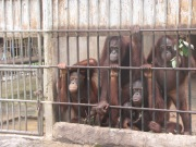 Orangutans Pongo spp. held at a Thai government-run rescue centre prior to repatriation to Indonesia .