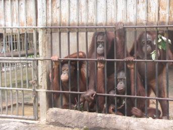 Orangutans Pongo spp. held at a Thai government-run rescue centre prior to repatriation to Indonesia .