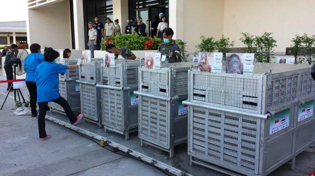 Orangutans awaiting repatriation to indonesia. TRAFFIC image and copyright.