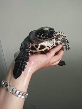Endangered Hawksbill sea turtle rescued by ENV volunteer on Thanksgiving Day. ENV Image and copyright.