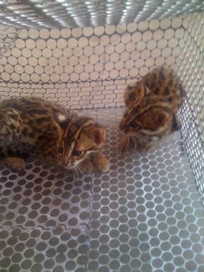 Two Leopard Cat kittens rescued from the illegal wildlife trade on Thanksgiving Day. ENV image and copyright.
