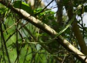 A graceful tree snake descending through branches of a a low tree in Black Bayou NWR, Louisiana.