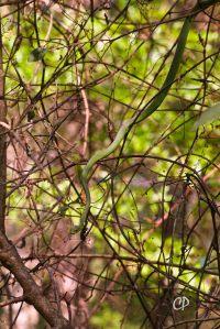 Very graceful treesnake among vines, Rough Green Snake
