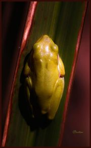This beauty is a living jewel. A tree frog among the reeds at Black Bayou National Wildlife Refuge, Monroe, Louisiana. Taken on Sigma SD1 with 70-300mm zoom at macro setting, equivalent to about 290mm on a 35mm camera. Developed from RAW in Sigma Photo Pro 5.5 then in Photo Plus 7 and boosted with Topaz Adjust. C.Paxton image and copyright,