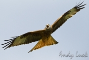 Red Kite by Andy Luck