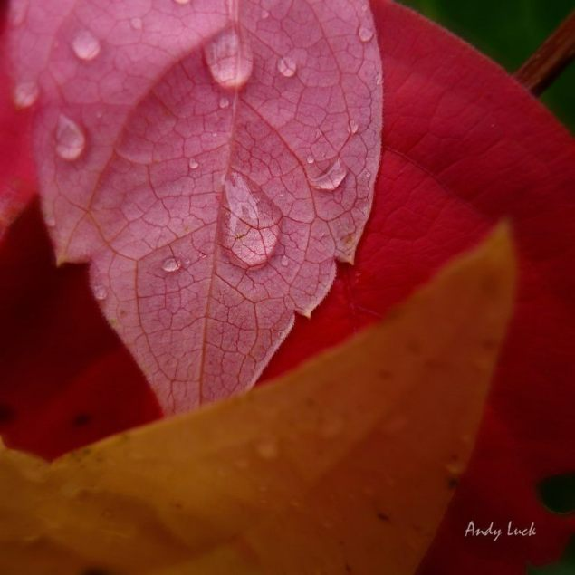 A study of Autumn leaves and rain drops by Andy Luck.