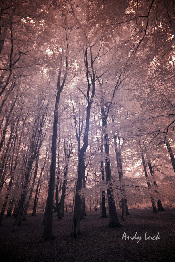 Colour infra-red photograph of deciduous woodland. Image and copyright Andy Luck.