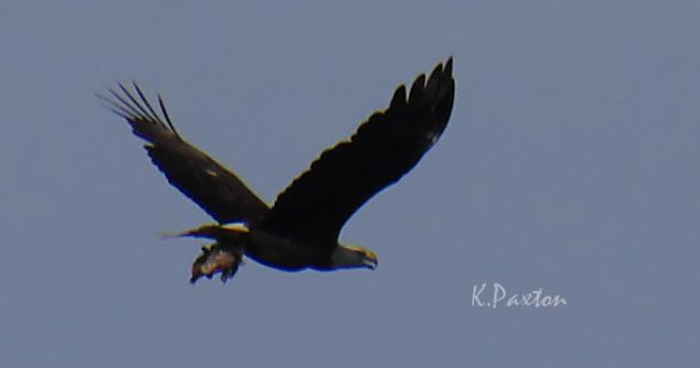 A bald eagle returning to its nest with prey in its talons! A cropped view, K.Paxton image and copyright.