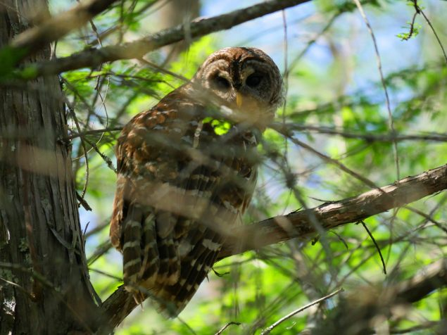 Barred Owl, one of a pair seen in the flooded forest off the Great Slough , Corney Creek. C.Paxton image and copyright.