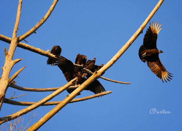 Vultures at Corney Creek copyright  by C. Paxton.