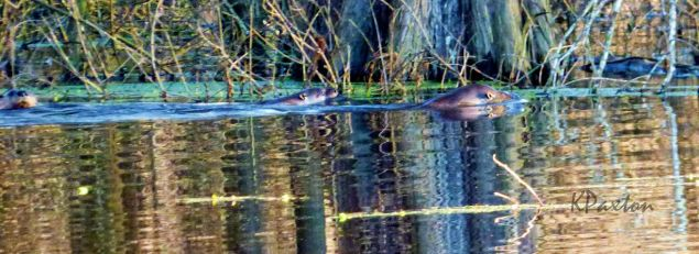 Kimmie's image of three otters swimming in evening sunshine in the Great Slough off Corney Creek. K.Paxton photo and copyright