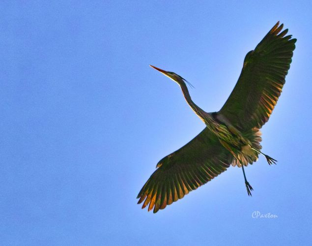 Heron overflight wildlife and nature images and copyright  by C. Paxton.