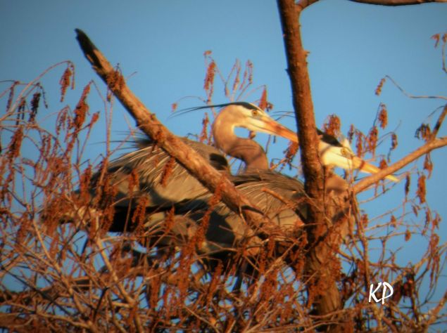 Mated pair of herons roosting in evening sunshine at the Heronry, Great Slough off Corney Creek. K.Paxton photo and copyright