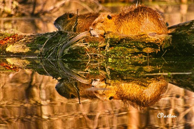 Nutria rats (Coypu) in love. C.Paxton photo and copyright