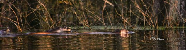 Otter family in eveing sunshine at the Great Slough off Corney Creek. C.Paxton photo and copyright