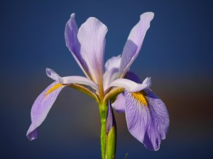 Louisiana Iris blooming in front of Black Bayou's Visitors' Centre. K.Paxton image and copyright.