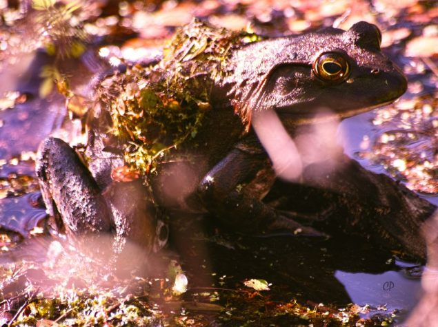 Bullfrog basking on a submerged branch at Black Bayou NWR. These frogs sing powerfully in chorus that sounds like a squeezebox and can be heard over a considerable distance. C.Paxton photo and copyright.