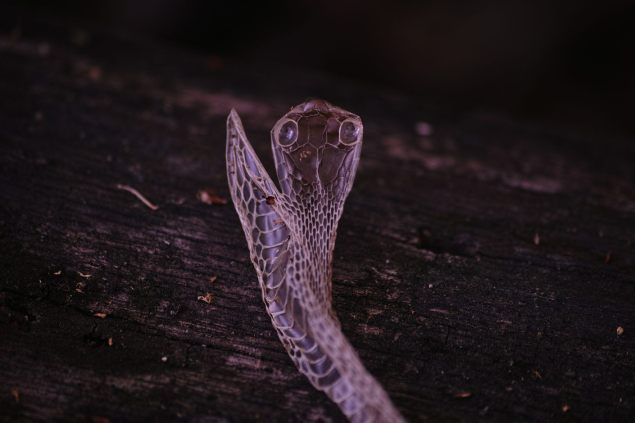 Shed skin of Blue Ribbon Snake on a log. C.Paxton image and copyright.