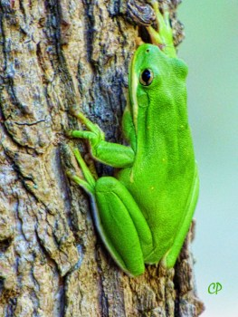 Tree frog on a Sweet Gum