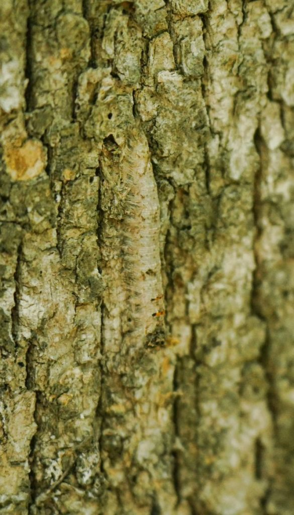 Camouflaged caterpillar blends into the tree bark of its home.