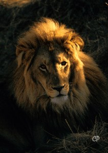 A male lion photographed in repose at Africat centre in Namibia. C. Paxton photo and copyright.