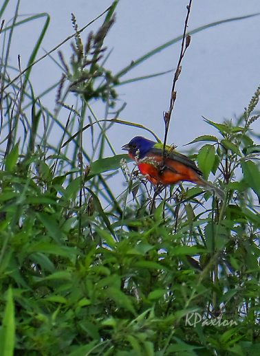 The Painted Bunting, Passerina cirris, is one beautiful example of migratory birds. Sometimes they are illegally caught and caged in Mexico. K.Paxton image and copyright.