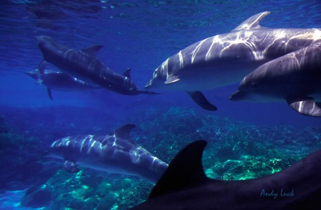 Pod of dolphins. Andy Luck image and copyright.