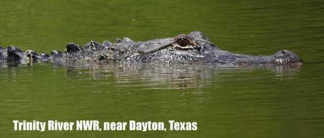 Young adult American Alligator at Trinity River Wildlife Refuge near Dayton, Texas.