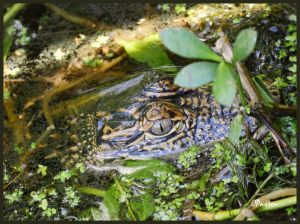Young American Alligator at Tensas River National Wildlife Refuge, Louisiana. C.Paxton image and copyright.