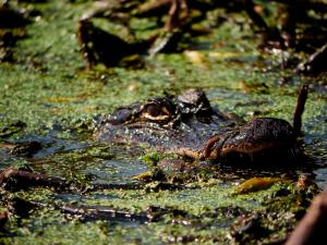 American Alligator Feeding at Black Bayou, Monroe Louisiana. C.Paxton image and copyright