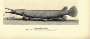 Illustration of an Alligator Gar