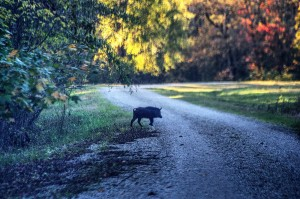 Feral hog crossing the wildlife safari drive at Tensas River NWR. C. Paxton image and copyright.