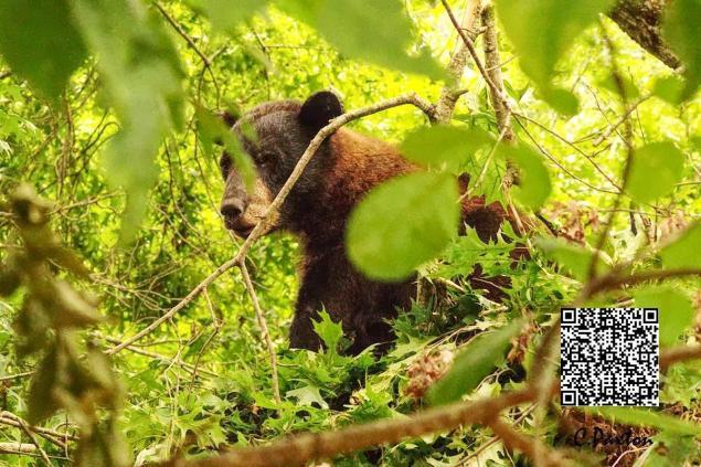 Southern Wildlife,  Louisiana Black Bear
