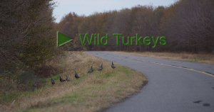 Wild Turkeys at Tensas River National Wildlife Refuge. Click to view movie on Youtube.