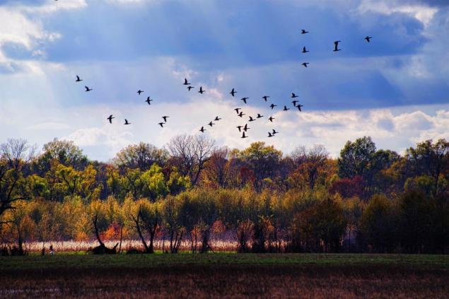 Wild ducks lift off from a flooded field at Tensas River NWR against an autumnal background. C.Paxton image and copyright.