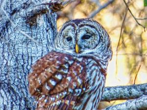 Handsome Barred Owl perched in a mature oak tree beside the Green Lea Wildlife Drive at Tensas River NWR last week. C. Paxton image and copyright.