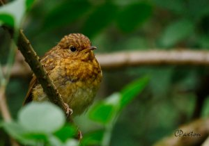 Young Robin at watendlath in cumbria. C. Paxton image and copyright