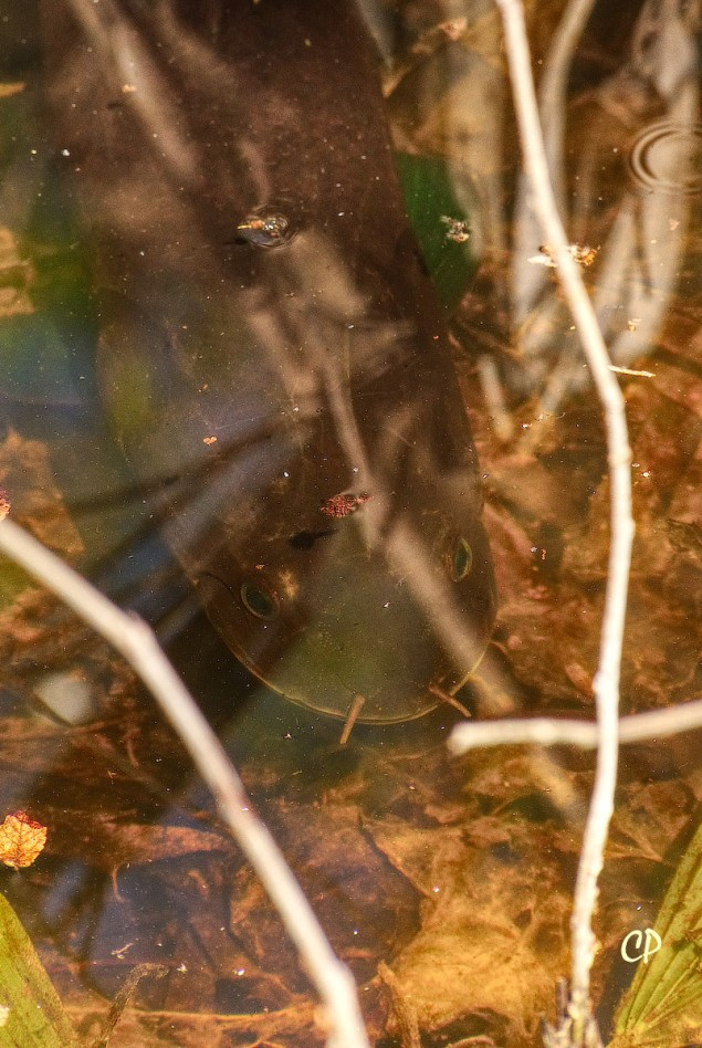 A Bowfin in shallow back-water of the Black Bayou Lake National Wildlife Refuge. The Bowfin's face has sensory tentacles.