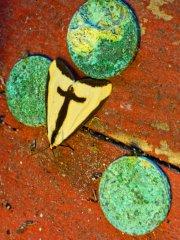 Haploa clymene, The Clymene Moth beside three corroded coins