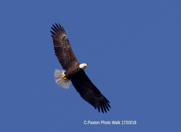 Several Bald Eagle overflights were memorable incidents on our photographic walk! Walkers also enjoyed Barn Swallows, Kinglets, Yellow-rumped Warblers, Blue birds and Wood peckers.