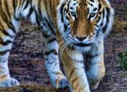 Smart conservation tactics are being employed to protect Sumatran tigers in the wild. See Partners Against Crime article in EXPOSURE.