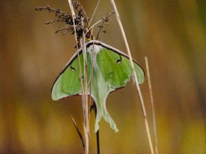The exquisite Luna moth with its startling faux eye decoration and fresh mint and milk and white chocolate colour coordination. K. Paxton photo and copyright.